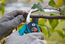 Gardener gripping shears to prune a tree. Tasks like this can cause wrist or thumb injuries that can result in the need to wear a wrsit or thumb brace for gardening.