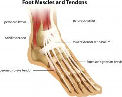 Image of achilles and other foot tendons and muscles