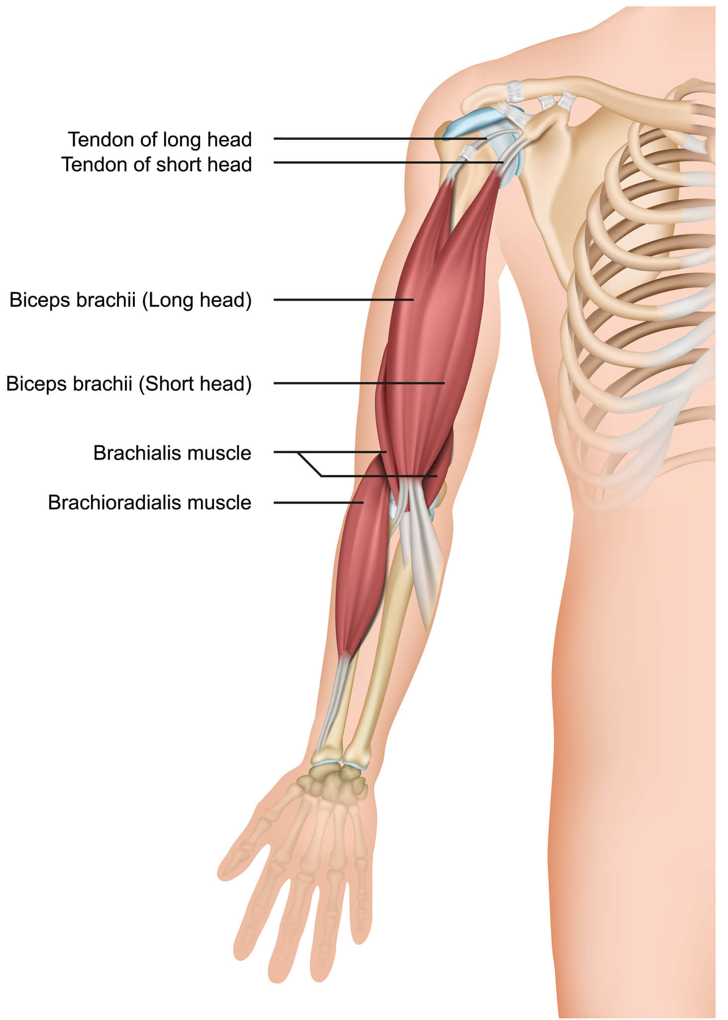 Medical image of bicep muscles and tendons including those affected by bicep tendonitis