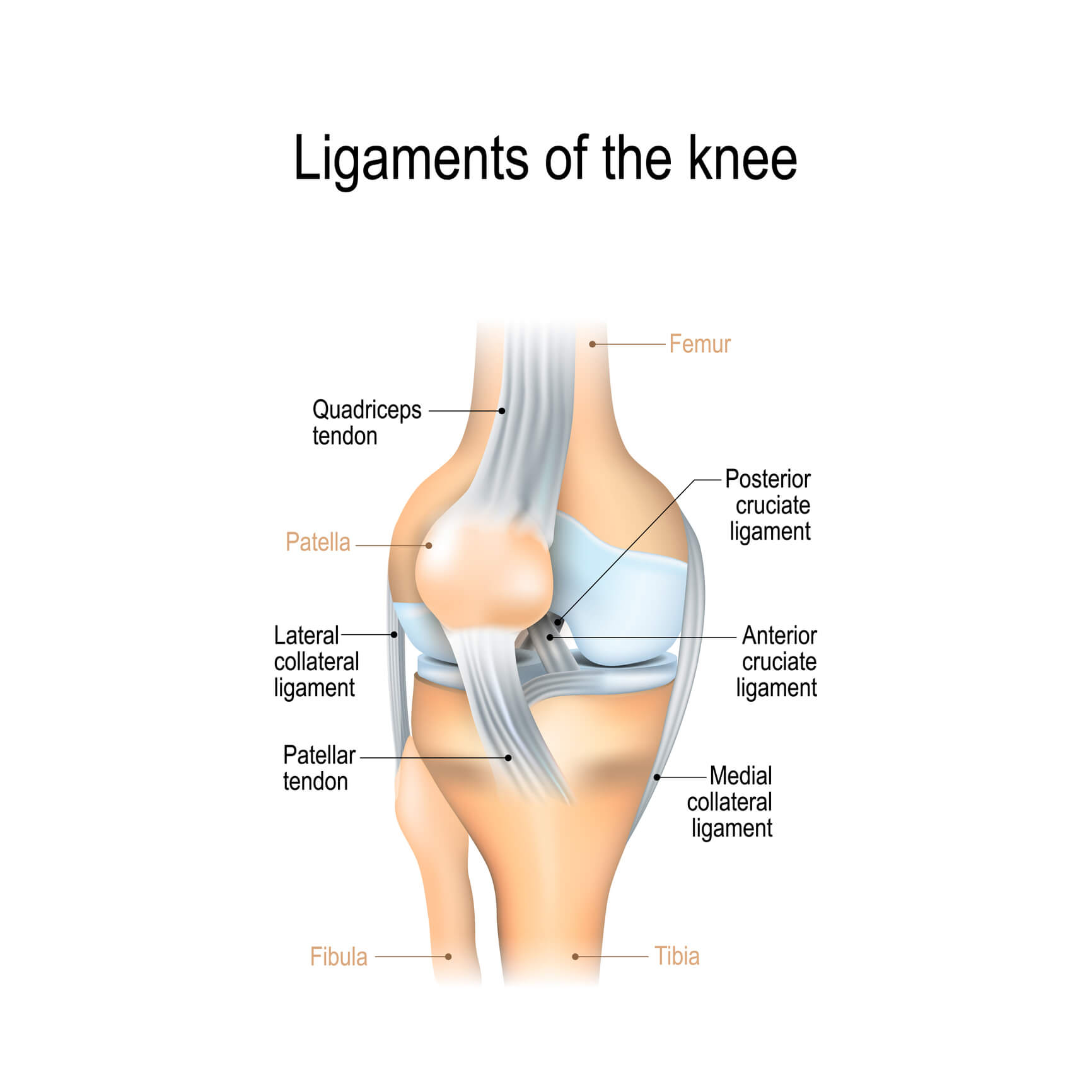 Image of the human knee and its ligaments including the MCL, LCL, PCL and ACL