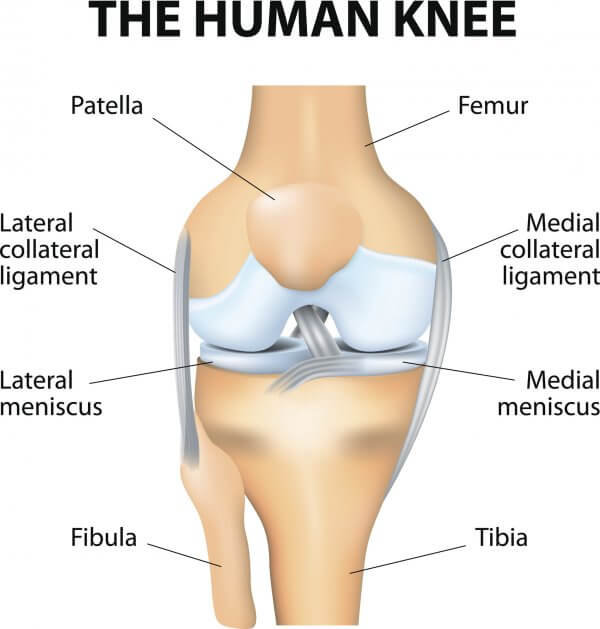 Medical diagram showing the medial and lateral menisci of the knee