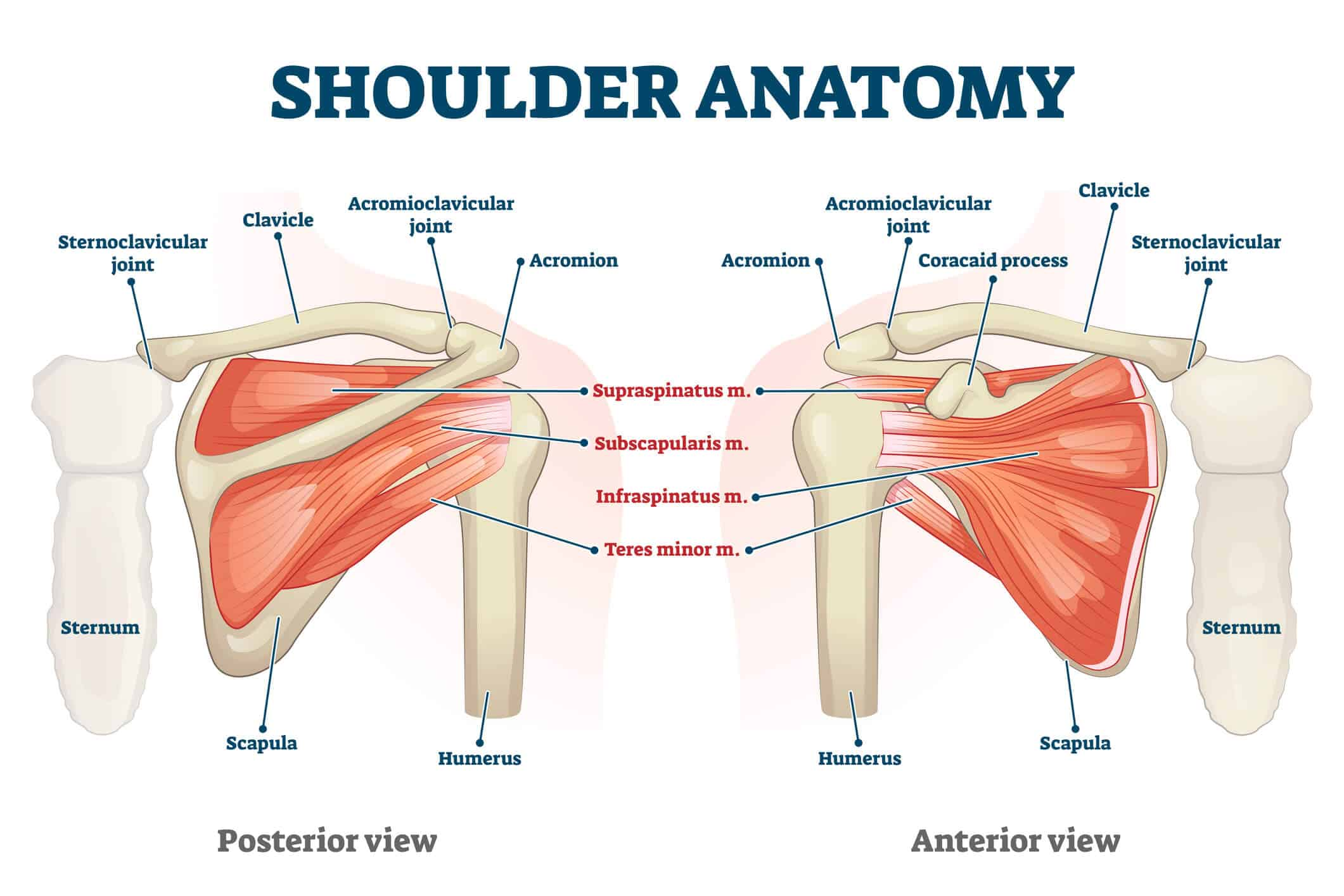 Image of the anatomy of the shoulder, including the clavicle, humerus and scapula that are enclosed in tissue that is affected by frozen shoulder.