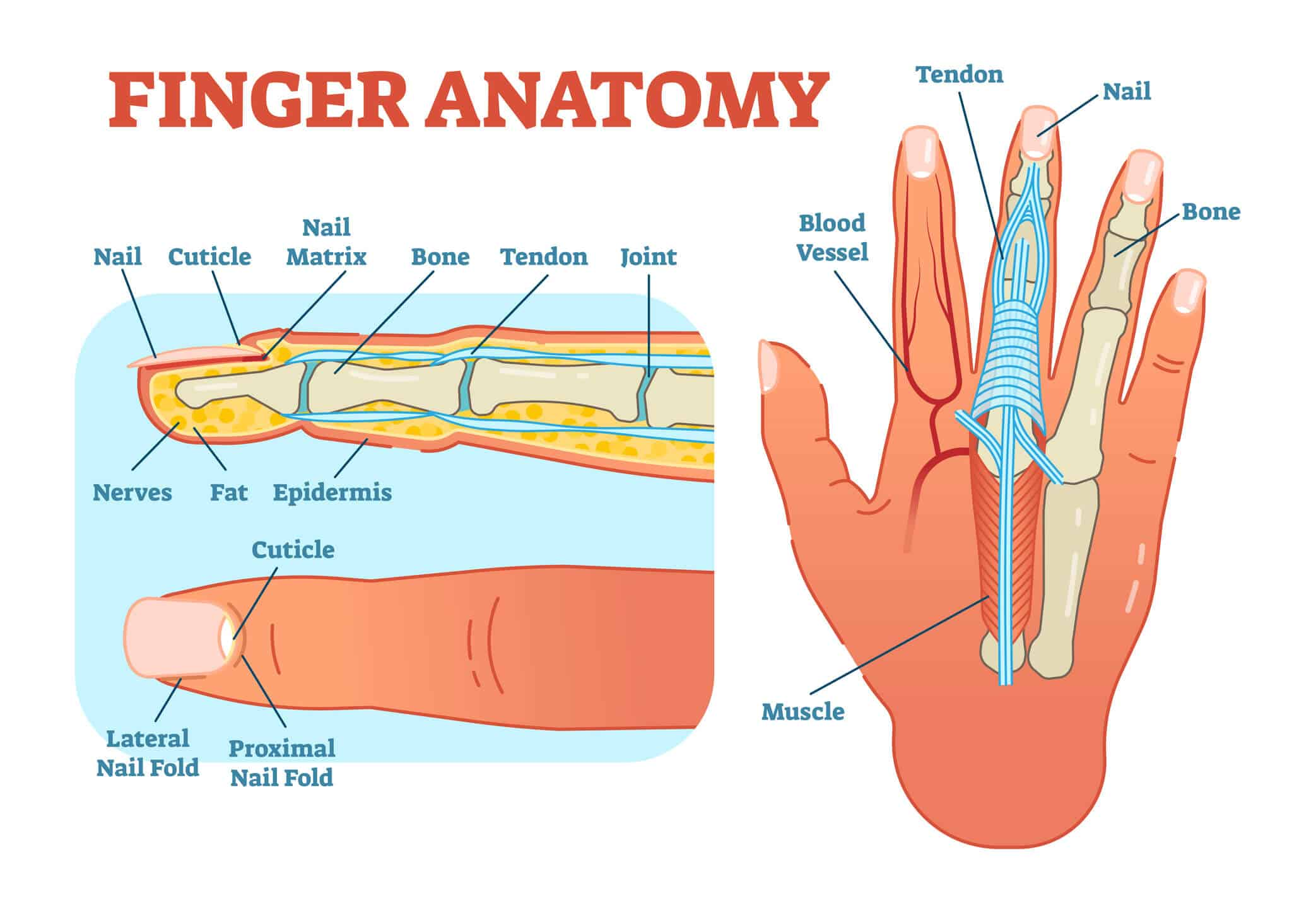 Image of the anatomy of the finger